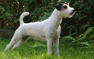 Always Jumper Parson Russell Terrier